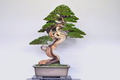 Improving Upon Office Environment Air Excellent With Indoor Crops - Superior For Business Stunning Juniper Bonsai By Naoki Maeoka. Void Spaces, Twisting Trunk And Stunning Deadwood Landscape Model, Landscape Structure, Landscape Design, Conifer Trees, Deciduous Trees, Bonsai Trees, Juniper Bonsai, Tree Pruning, Miniature Trees