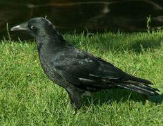 czarnowron