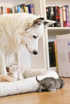 Cheap pet insurance for dogs You'll compare and find the cheapest pet insurance for dogs What you'll pay as a premium will vary hug. Cute Baby Animals, Animals And Pets, Funny Animals, White Kittens, Cats And Kittens, Grey Kitten, I Love Dogs, Cute Dogs, Pet Insurance For Dogs