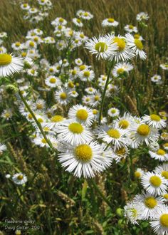Fleabane daisy (Erigeron annuus) • Family: Aster (Asteraceae) • Habitat: fields, roadsides • Height: 1-5 feet • Flower size: 1/2 inch across • Flower color: white or pale pink rays around a yellow disk • Flowering time: June to October Photo by Doug Colter