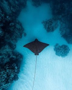 Life is like the ocean it goes up and down. EAGLE RAY 💙 Photo by ⚊⚊⚊⚊⚊⚊⚊⚊⚊⚊⚊⚊ Credit? Underwater Sea, Underwater Photos, Underwater Animals, Underwater Photography, Animal Photography, Photography Tips, Marine Photography, Nature Photography, Photography Couples
