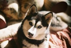 Such a gorgeous husky. I'd get one now if it wouldn't make my pup really jealous.