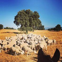 Que buen paseo en esta mañana fresquita en Zaina, visitando a las ovejas #purarazatalaverana !!!// What a nice ride this  fresh morning on Zaina visiting our talaverana pure breed sheep !!!