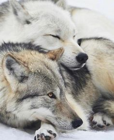 🐺If you Love Wolves, You Must Check The Link In Our Bio 🔥 Exclusive Wolf Related Products on Sale for a Limited Time Only! Tag a Wolf Lover! 📷: Please DM . No copyright infringement intended. All credit to the creators. Arktischer Wolf, Wolf Husky, Wolf Love, Wolf Pup, Wolf Photos, Wolf Pictures, Animal Pictures, Beautiful Creatures, Animals Beautiful