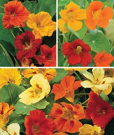 Nasturtiums are easy-to-grow, Shown here, Burpee's 'Mixed Collection'