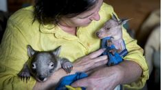 Hot, dry conditions and bushfires are stretching the resources of the Hepburn Wildlife Shelter, writes Leah Balbin.  Read more: http://www.theage.com.au/victoria/hotter-weather-a-danger-for-victorian-wildlife-20160107-gm19is.html#ixzz3wnc6ukCr  Follow us: @theage on Twitter | theageAustralia on Facebook  Gayle Chappell, who runs the Hepburn Wildlife Shelter, holds a joey and wombat in need of care during feeding time.