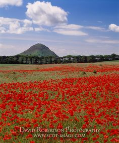 North Berwick Law, East Lothian, Scotland, UK. Field of poppies in set-aside area.
