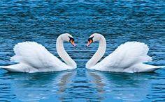Swan Love Ultra HD Wallpaper, 4k | Swan Love Ultra HD Wallpaper, 4k - HD Wallpapers, Ultra HD Wallpapers