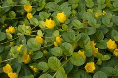 Lysimachia nummularia, creeping Jenny, with yellow flowers