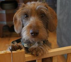 """See our site for even more info on """"dachshund puppies"""". It is actually a superb location to read more. Dachshund Funny, Mini Dachshund, Dachshund Puppies, Puppies And Kitties, Cute Puppies, Cute Dogs, Daschund, Doggies, Chihuahua Dogs"""