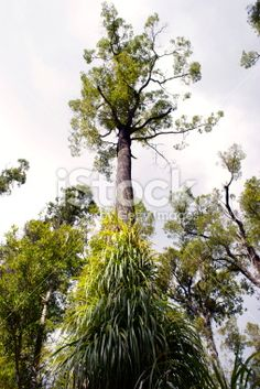 New Zealand Podocarp Tree covered in Dracophyllum Elegantissimum Royalty Free Stock Photo