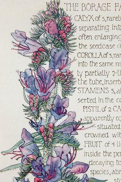 1910 Botanical Print by H. Isabel Adams: Borage by PaperPopinjay