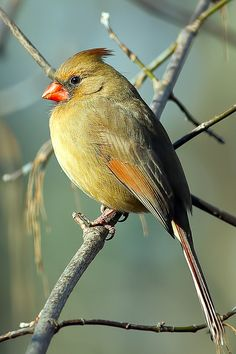Northern Cardinal - Female