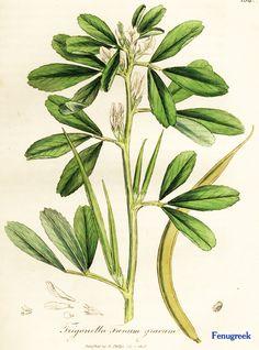 "Fenugreek. From Ed Smith's personal library: Stephenson & Churchill, ""Medical Botany"": 1834-1836."