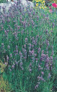 Botanical Name:Lavandula angustifolia 'Munstead Dwarf'  Common Name:Munstead Dwarf English Lavender