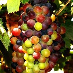 Photo color grapes by Samuel Johnson on 500px