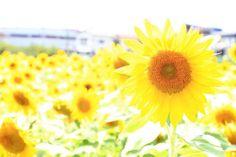 ヒマワリの画像 by 天使の雫ちゃんさん|夏を感じるひまわりコンテスト (2015月8月7日)|みどりでつながるGreenSnap