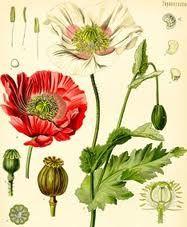 Gentil Coquelicot Mesdames ♫... #Poppies -- coquelicot