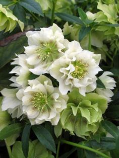 Helleborus x hybridus 'Swirling Skirts'. I want this variety!