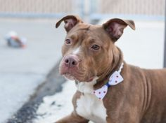 """SUPER URGENT - -HARLEY - A1080382 - Brooklyn - Publicly Adoptable Please Share: TO BE DESTROYED 07/20/16 **AVERAGE RATED** What image comes to mind when one says """"HARLEY?"""" Big and bad? Rough and tough? Well this girl is ANYTHING BUT the typical Harley. Two year-old Harley is a brown and white American Pit bull Terrier who was brought into the ACC on July 8th as a stray. It is unclear if she had been someone's pet or not, as she was not spayed or microchipped, but clearly this girl liked"""