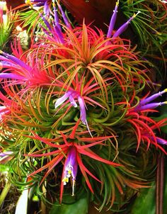 """Tillandsia - are epiphytes and need no soil because water and nutrients are absorbed through the leaves. The roots are used as anchors only. Reproduction is by seeds or by offsets called """"pups"""". A single plant could have up to a dozen pups. """"Tillandsias"""" love bright, indirect sunlight. - It is quite common for some species to take on a different leaf colour  - usually changing from green to red - when about to flower. This shows the plant is monocarpic - flowers once before dying…"""