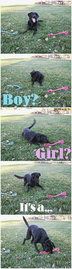 Dog- baby gender reveal!