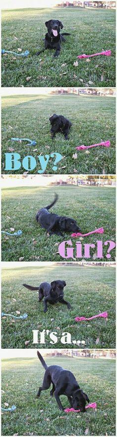 Dog- baby gender reveal!