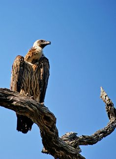 A vulture contemplates lunch on a branch at the  Kruger Park, South Africa.