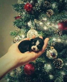 Tiny puppy by Christmas tree                                                                                                                                                                                 Plus
