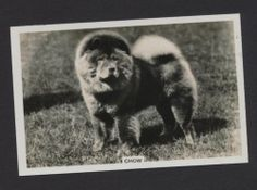 Chow dog from series Dogs by Senior Service Cigarettes card #13
