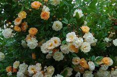 Rosa 'Ghislaine de Féligonde' (Klimroos) > €12,95 > Direct van de rozenkwekerij. Belle Epoque, Floral Wreath, Van, Wreaths, Decor, Pink, Floral Crown, Decoration, Door Wreaths