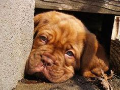The four breeds most commonly called Mastiffs are the English Mastiff, the Neapolitan Mastiff, the Bull Mastiff and the Tibetan Mastiff. French Bull Mastiff, French Mastiff Puppies, British Mastiff, Mastiff Mix, Tibetan Mastiff, Mastiff Dogs, Giant Dog Breeds, Giant Dogs, Dogue De Bordeaux