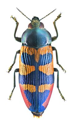 Photos - BUGS & INSECTS - Temognatha maculiventris