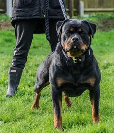 These dogs are intense! Working Rottweiler.