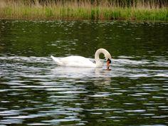 Mute Swan near Inmahome Priory Scotland Purple Books, Mute Swan, Scotland, Birds, Nature, White Swan, Bird, The Great Outdoors, Mother Nature