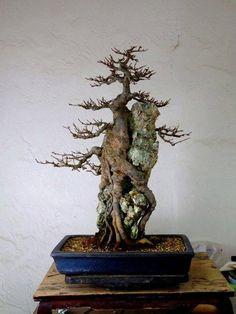 Bonsai 824