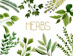 Clipart d'herbes plantes médicinales aquarelle clipart par rosabebe