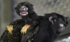 A one-month-old red-handed tamarin monkey sits on his mother inside an open air enclosure at Royev Ruchey zoo in Krasnoyarsk