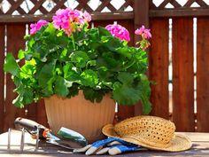 Ako si vypestovať dokonalé muškáty a petúnie