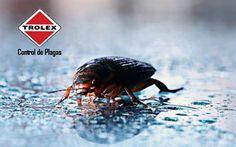 La chinche de agua es una de las más desagradables plagas domésticas y es que tienen un parecido asombroso con las cucarachas e incluso son de mayor tamaño que estas. No obstante controlarlas y exterminarlas es sencillo.