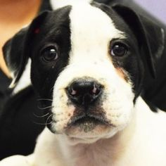 Adopted! Butch- American Bulldog/American Staffordshire Terrier mix - Huntley, IL.  14 weeks old