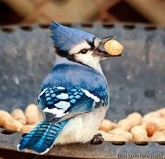 Pretty bluebird eating his dinner!
