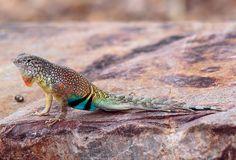 Earless Lizard