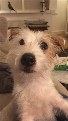 Patsy, Jack Russell