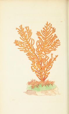 """v.8 - The naturalist's miscellany, or Coloured figures of natural objects - Biodiversity Heritage Library  """"Purple Sided Gorgonia"""""""