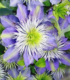 Clematis Nelly Moser, Clematis Vine, Blue Garden, Passion Flower, Amazing Gardens, Garden Inspiration, Tulips, Fountain, Gardens