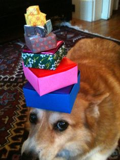 """""""Corgis: the sweetest gifts!"""" Cute Pembroke Welsh Corgi Hazel, from Things on Hazel's head."""