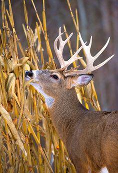 White-tailed Deer (O White-tailed Deer (Odocoileus virginianus) buck browsing Quail Hunting, Deer Hunting Tips, Archery Hunting, Whitetail Deer Pictures, Deer Pics, Deer Sketch, Bow Hunter, Fallow Deer, Nature Sketch