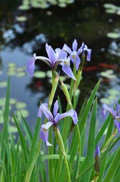Blue water iris in our pond Formal Garden Design, On Golden Pond, Home And Garden Store, Pond Plants, Pond Life, Garden Cottage, Bog Garden, Iris Garden, Small Ponds