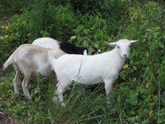 Our Nigerian Dwarf Goats A'Grazing